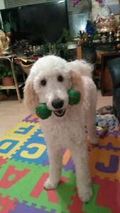 Purebred standard poodle