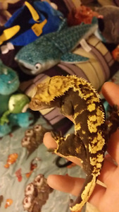 Selling crested gecko and his supplies