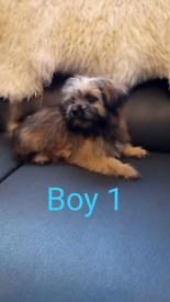 3 Shiranian ( Shih Tzu X Pomeranian) Puppies