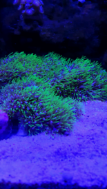 Green Star Polyp GSP Coral