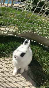 2 Year old female Lionhead rabbit- Spayed