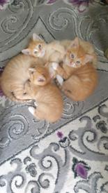 British short hair ginger kittens