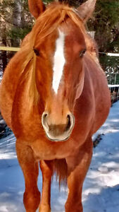 Pregnant 6 year old Mare