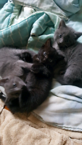 Russian Blue x Ragdoll kittens