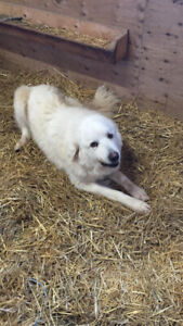 Great Pyrenees Looking For A Good Home