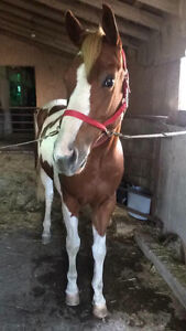 Tonto-12 year old paint horse London Ontario image 2