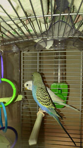 Pair of budgies / perruches