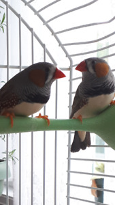 Beautiful male finches