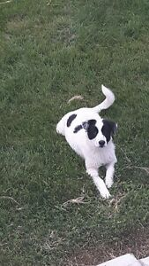 playfull black and white puppy