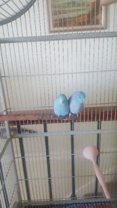 Two Blue Male Pacific Parrotlets  -  about 2 years old