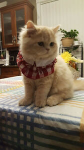 Persian kitty for sale
