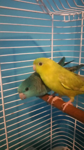 Beautiful Linnie Parakeets for sale