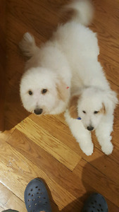 2 brothers Bichon poodle 17 month old