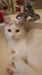 Nemo - Lost Male Cat - White with a tiny bit of Black