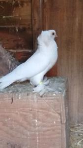 Fancy Female pigeon for sale