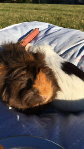 2 Guinea Pigs looking for a family