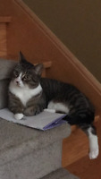 Lost our loving CAT TIGGY - male - very kind and friendly