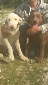 Expecting First generation Labradoodle puppies  August 10