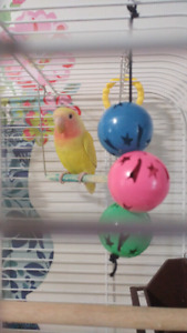 Baby lutino lovebird with cage and food