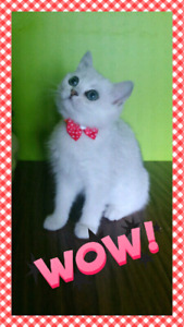 "British shorthair kittens, ""chinchilla"" color. Chatons de race B"