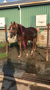 Arabian gelding for part-board only!