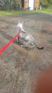 Snow Savannah cat for sale tica registered.