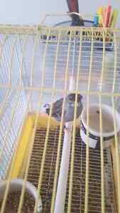Male canary 60$