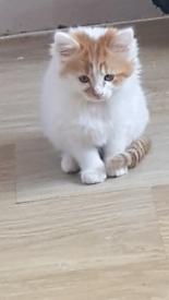 2 kittens for sale £100