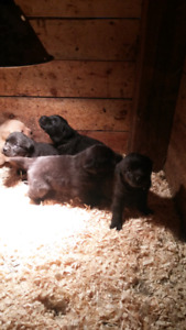Black Lab Puppies!!!