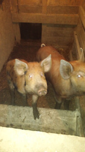 Pigs  for sale  around 150 pounds