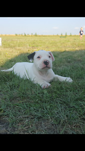 Beautifull Bull Terrier X 1 boy left