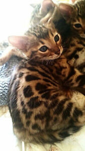 Ready Now - Purebred Registered Bengal Kittens