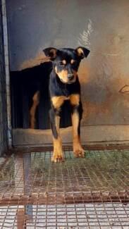 Registered Kelpie pup * STARTED KELPIE*
