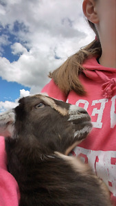 Looking for bottle feed goats for lambs