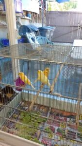 young canaries 35$