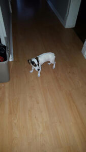 Pure bred Female Jack Russell