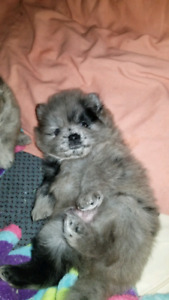 EXOTIC RARE MERLE Pomeranian boys 1 HAS 2 BLUE EYES