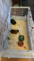 2 Guinea pigs free to good home