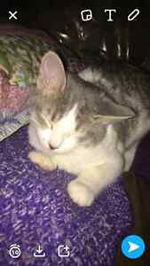 3 month old female kitten  Strathcona County Edmonton Area image 4