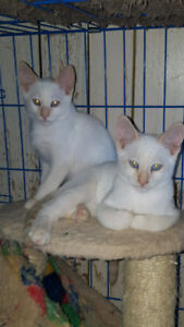 SIAMESE KITTENS FOR SALE REDUCED PRICE (flame point)