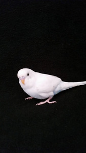 Fancy Hand fed Budgie (ONE LEFT)
