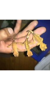 Highend Baby crested gecko