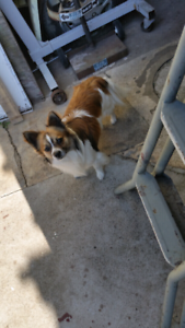 Pomeranian x Maltese Fluffy Friendly Boy Dog