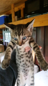 F5 Savannah kittens for sale, ready to go end of June.