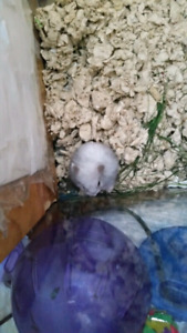 Free dwarf hamster, urgently need her gone