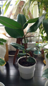Indoor plant - Rubber plant