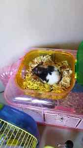 Many hamsters ready for rehoming.