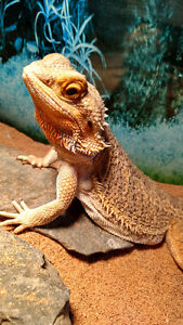 Female bearded dragon & 75 gallon set up $200 OBO