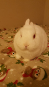 Purebred Netherland Dwarf Male Rabbit To Rehome For Christmas
