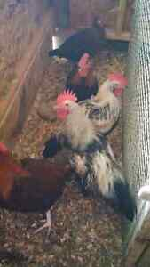 Red and silver dorking chickens Peterborough Peterborough Area image 7